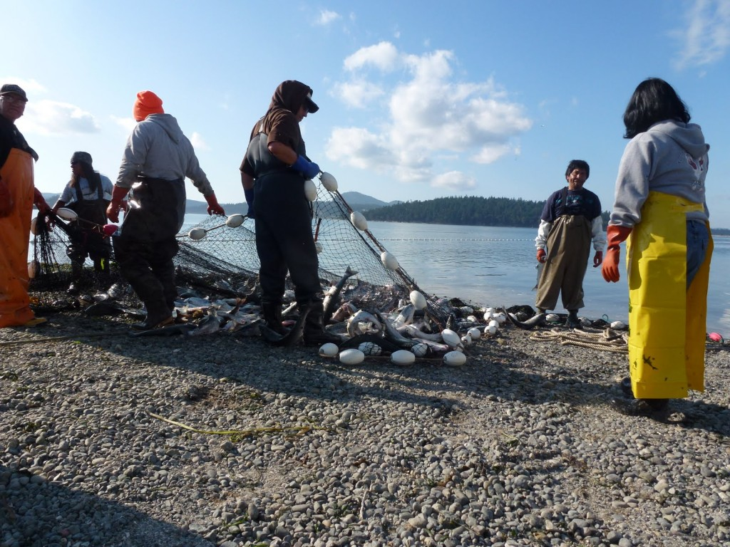 Beach Seining for Pink Salmon