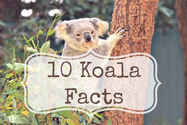 10 Koala Facts - Long Wait For Isabella
