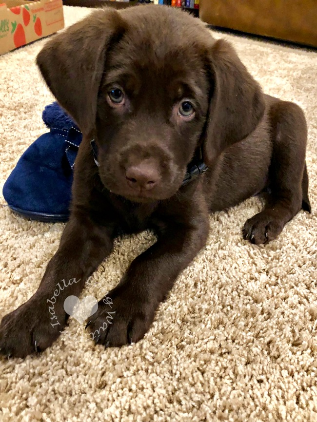 Puppy Potty Training our Chocolate Lab Puppy Max