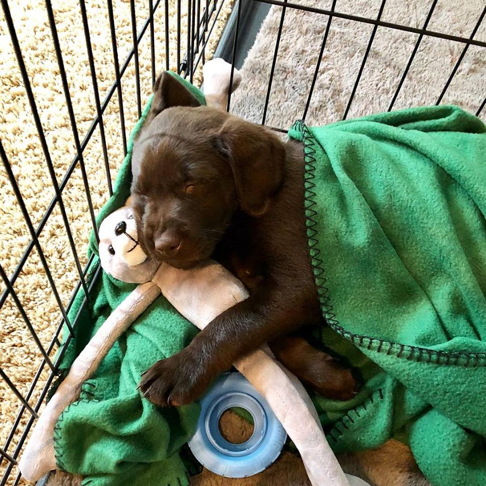 Crate Training with Our Chocolate Lab Puppy Max